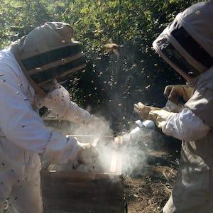 Dos apicultores Colombianos trabajando en un panal.